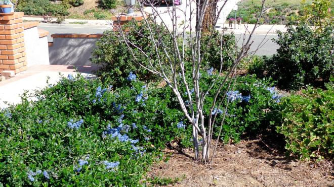 Yankee Point ceanothus in spring