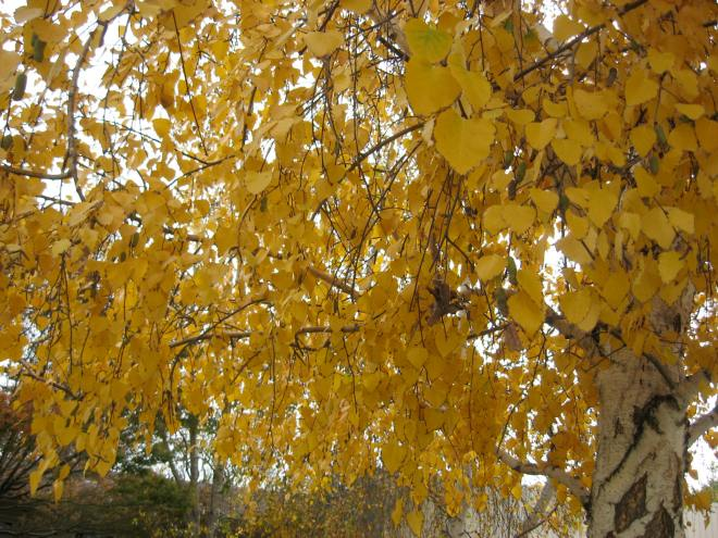 Birch tree shower of gold